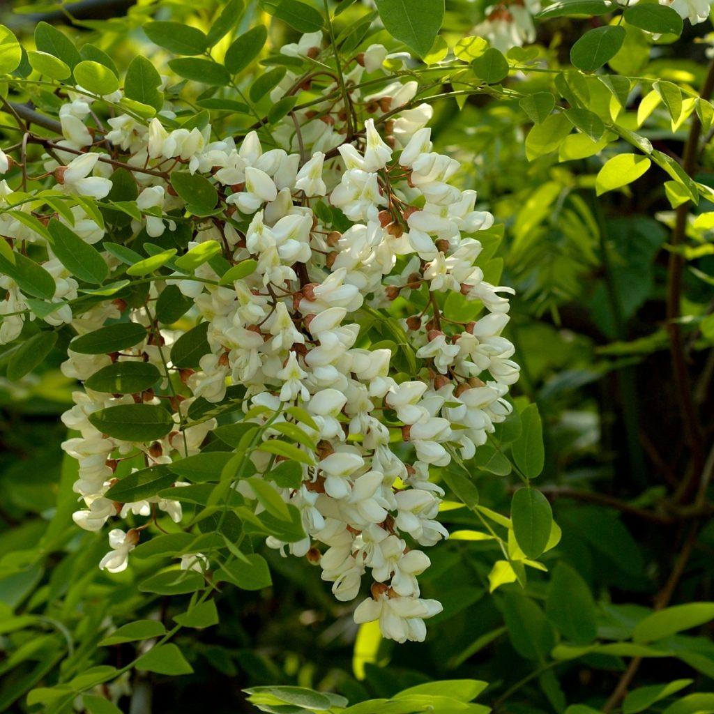 Fricieu di fiori di gaggia